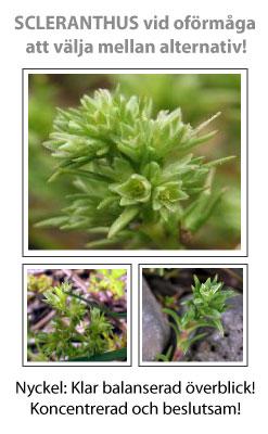 Scleranthus (Grönknavel) Blomessens