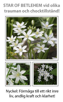 Star of Betlehem (Morgonstjärna) Blomessens