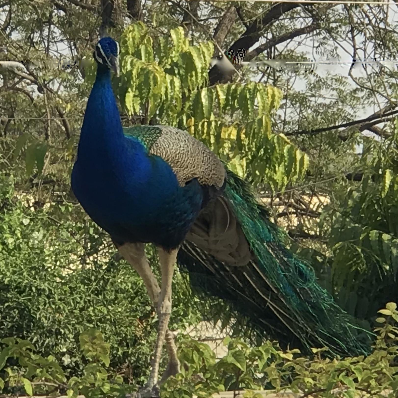 påfågel. peacock
