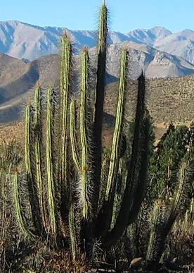 Foto med en Copado-kaktus (Eulychnia acida). Bildkälla: Beas y tapia, Chile.