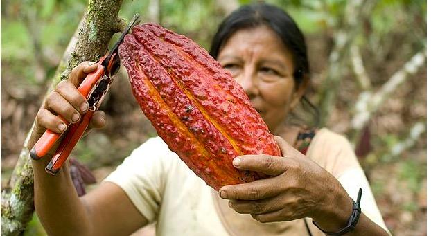 Kakaoodlare i kooperativet El Naranjillo i Peru. Foto: GEPA - The Fair Trade Company/C. Nusch