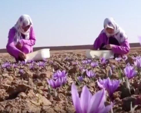 Saffranskörden i Afghanistan. Blommorna mödosamt och omsorgsfullt plockas för hand