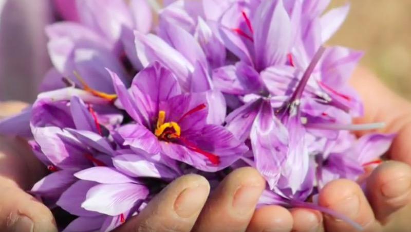en handfull vackra saffranblommor