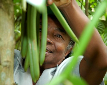 vaniljskörd Sri Lanka