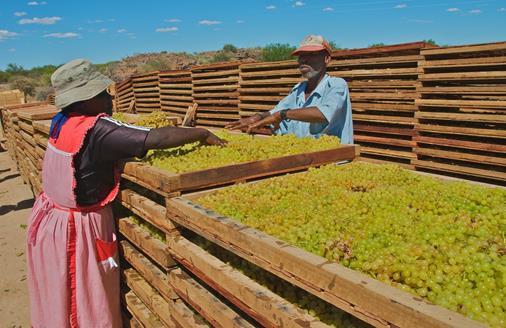 Vindruvor torkas på Eksteenskuil Farmers Association i Sydafrika