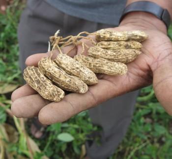 en handfull fina jordnötter från Indonesien. Foto El Puente fair trade
