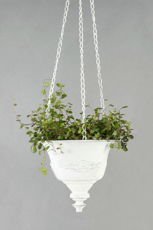Ampel  fransk lilja-  Vit