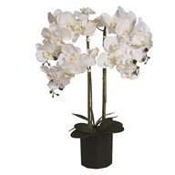 White Orchid in Black Ceramic Pot 74cm