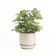 Hypoestes Plant Ceramic in White Pot 24cm