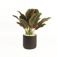 Maranta Leaf Plant Pot 25cm