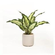 Dieffenbachia Plant Pot 25cm