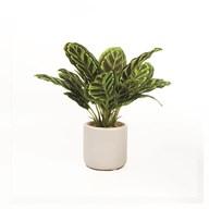 Calathea Plant Pot 25cm