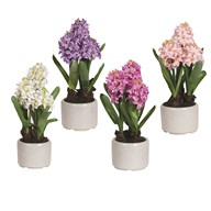 Hyacinth in Pot 4 Assorted 36cm