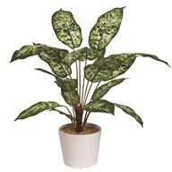 Dieffenbachia Plant In Pot 53cm