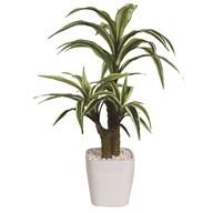 Dracaena Plant In Pot 46cm