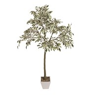 Ficus Tree in Pot 130cm