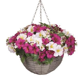 Petunia Hanging Basket Pink & White (30*45cm)