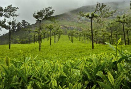Ahmad Tea Fields