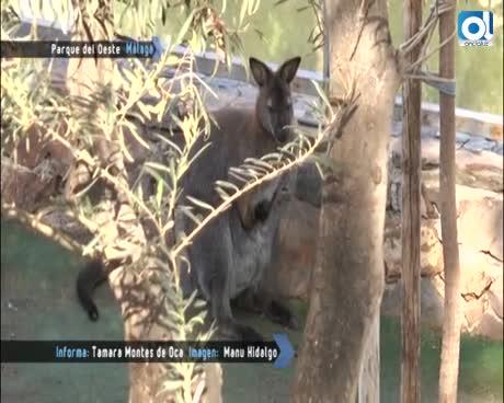La muerte del canguro del Parque del Oeste, agredido por vándalos, enciende la polémica