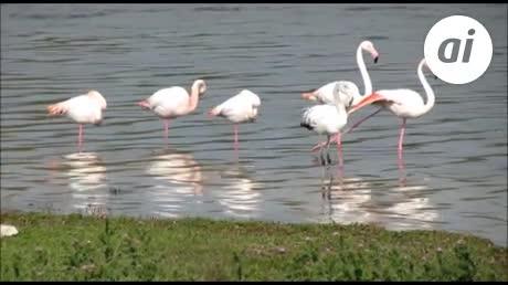 La Laguna de Fuente de Piedra alberga ya 35.000 flamencos