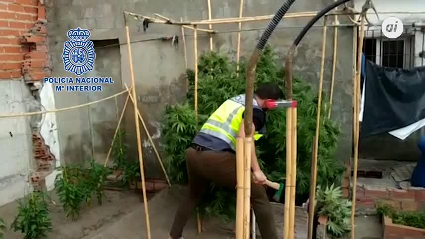 Cinco detenidos en cinco plantaciones de marihuana en La Línea