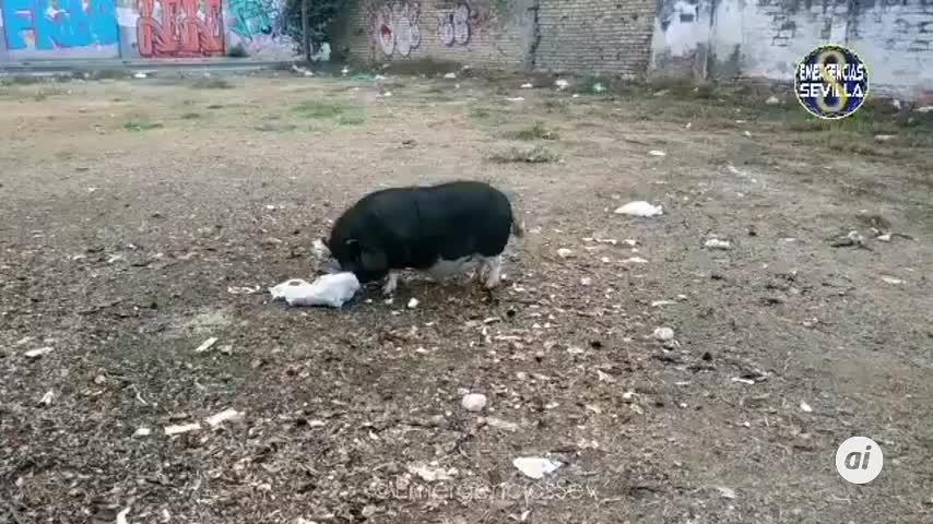 La Policía Local rescata a un cerdo vietnamita, un erizo y 4 caballos