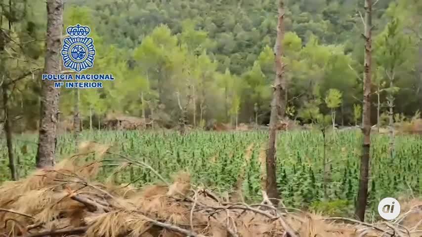 Desmantelan la mayor plantación de marihuana localizada en Aragón