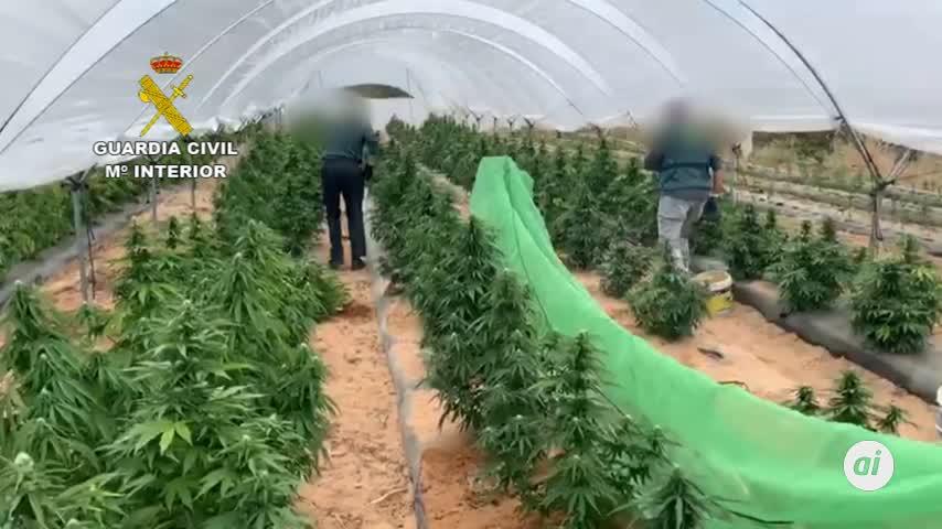 Desmantelan un cultivo de más de 2.000 plantas de marihuana