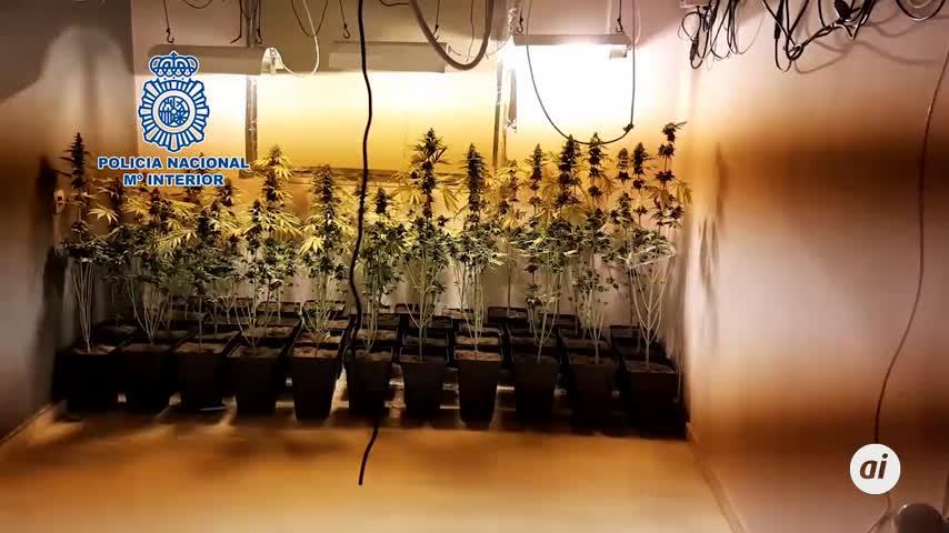Localizada una vivienda en Dos Hermanas con 300 plantas de marihuana