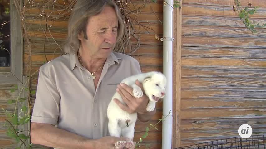 Nace en Guillena el primer león blanco en cautividad