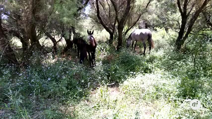 Pacma denuncia que unos caballos están atados desde hace un año