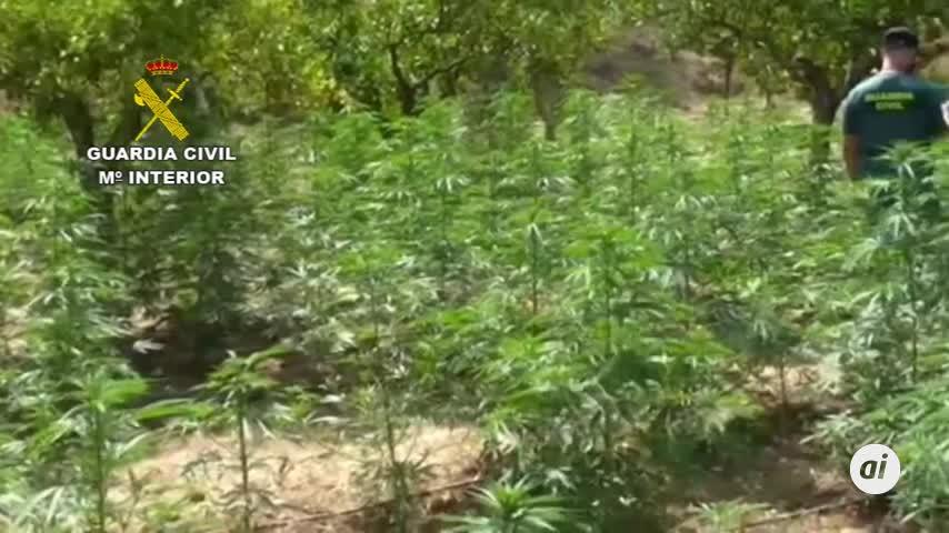 La Guardia Civil interviene 12.100 plantas de marihuana en Málaga