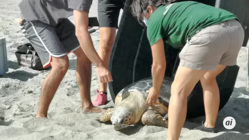 Hugo y Diana, dos tortugas bobas que vuelven al mar en playa El Burgo, La Línea