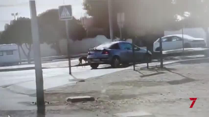 Denuncian el maltrato a un galgo que entrenaban atado a un coche en marcha en Torremolinos