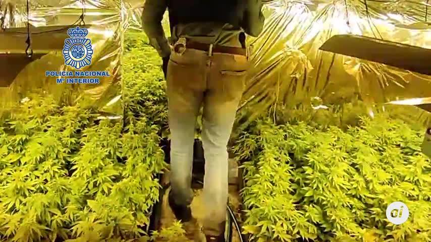 Desmantelan una plantación de marihuana al ir a detener un hombre por violencia de género