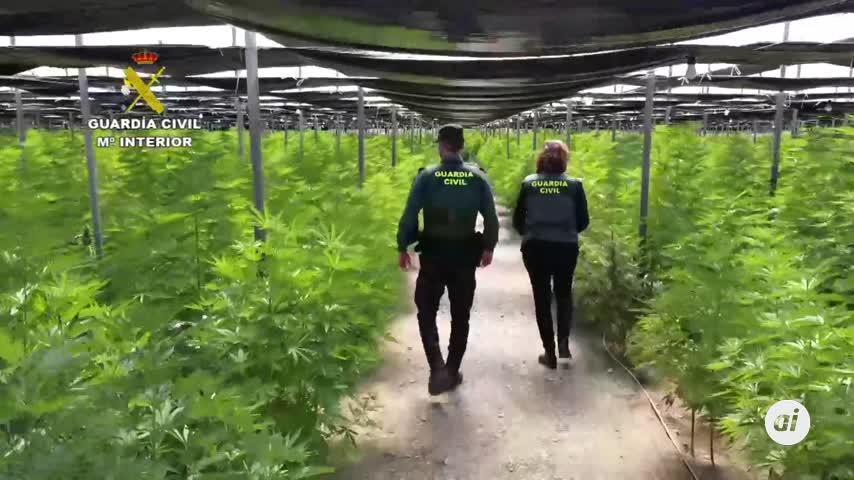Dos detenidos tras la incautación de 64.800 plantas de cannabis en El Ejido