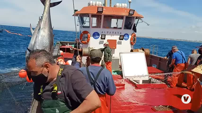 Llegan al Puerto de Barbate los primeros atunes rojos de almadraba de la temporada