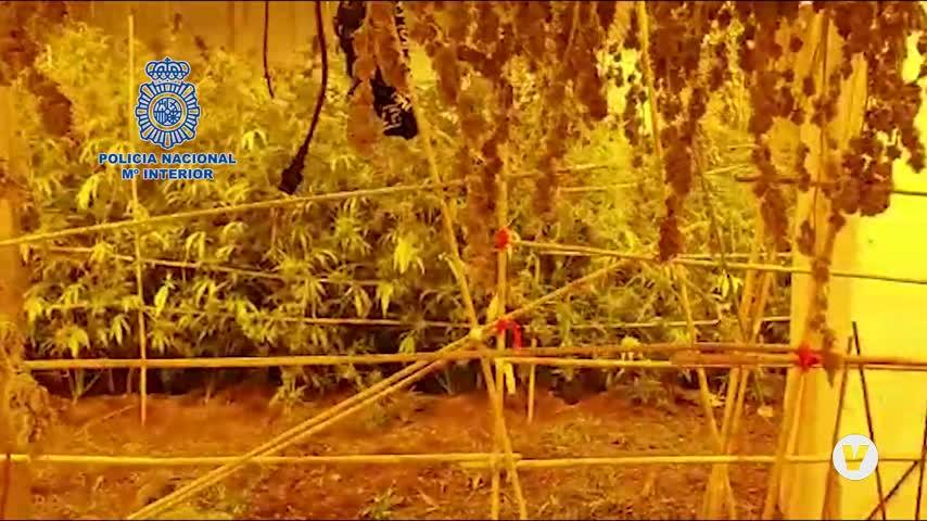 Cae un clan familiar en Sevilla dedicado al cultivo y venta de marihuana