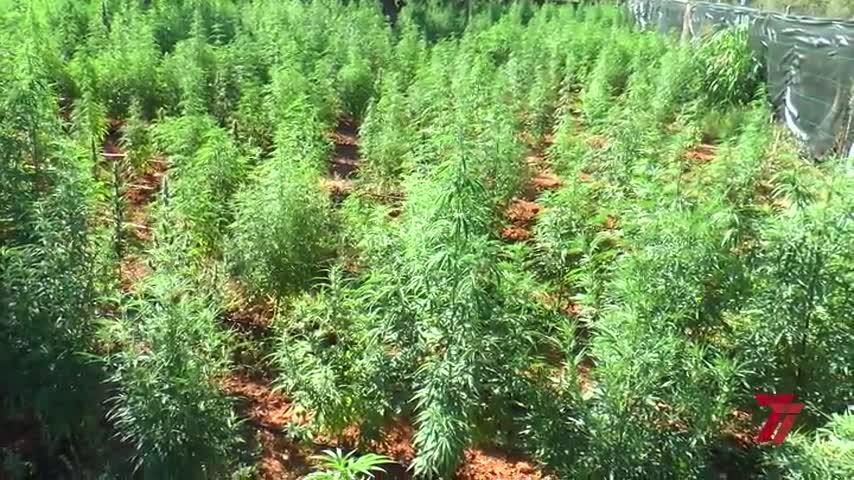 Tres detenidos en Sevilla en una plantación con 2.600 plantas de marihuana