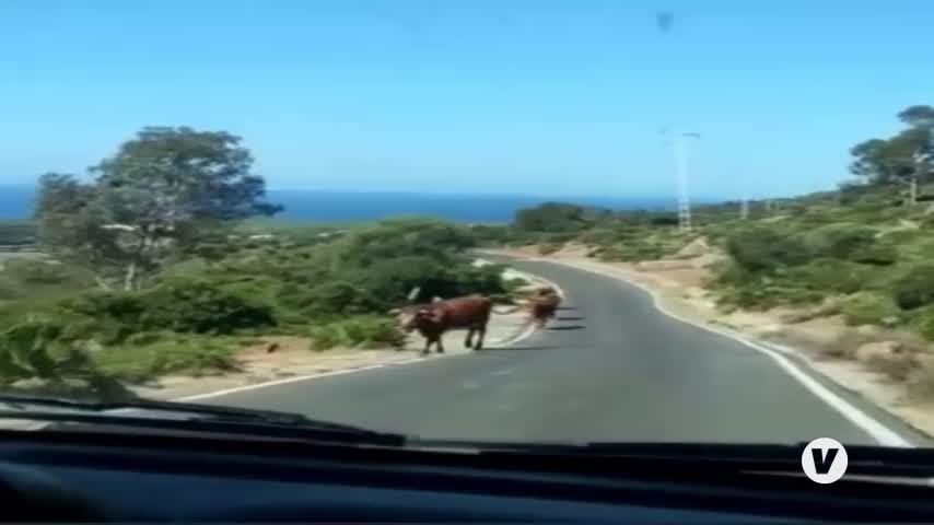 La fama de las vacas de Bolonia, en Tarifa, disparada por las redes sociales