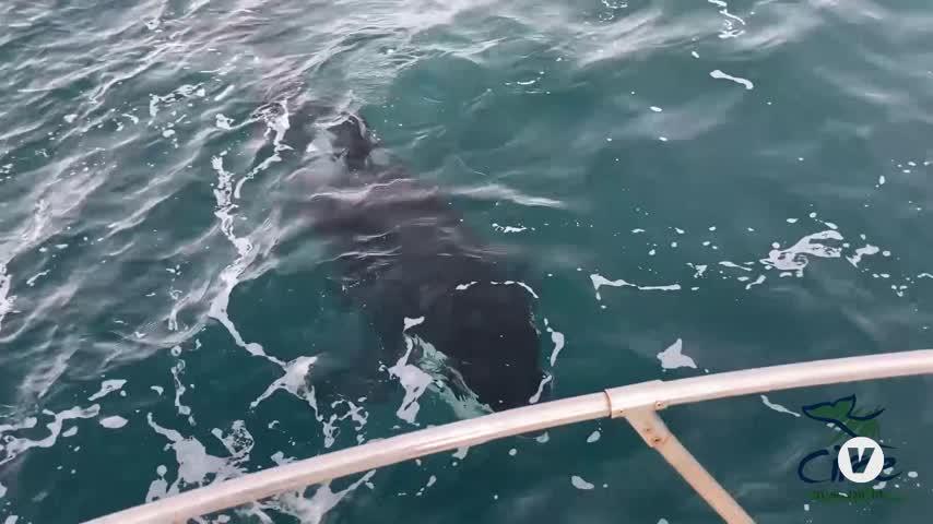 El Grupo de Pingu, las orcas ibéricas más asentadas en el Estrecho