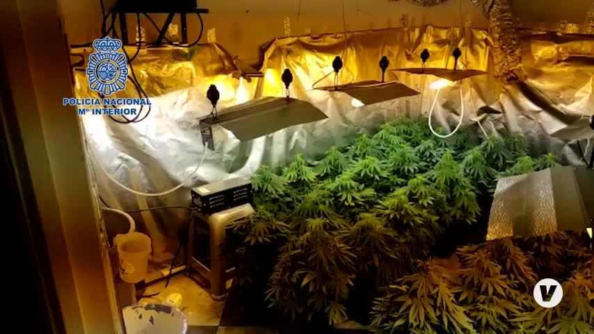 Una mujer detenida tras desmantelar una plantación de marihuana en Algeciras
