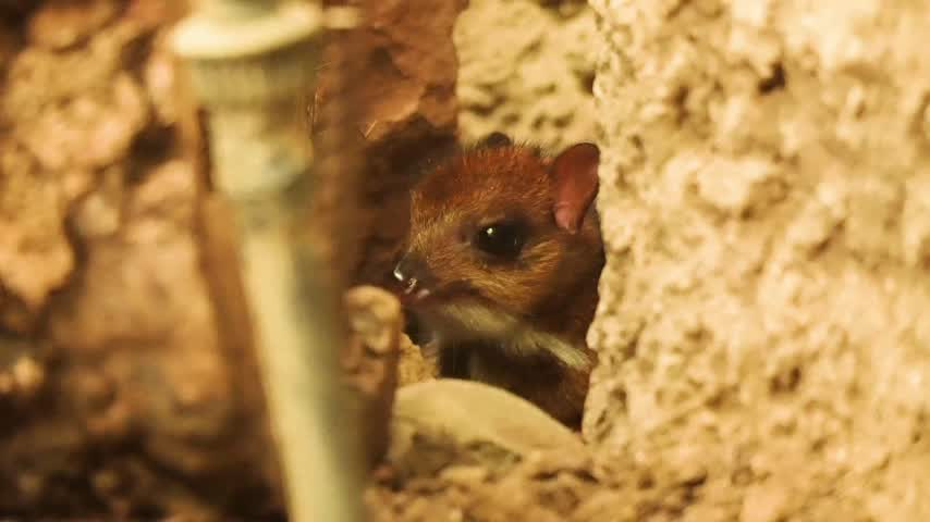 Nace un ciervo ratón del tamaño de un móvil en un centro de Málaga