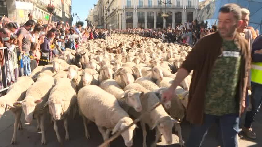 Ovejas y cabras toman las calles de Madrid