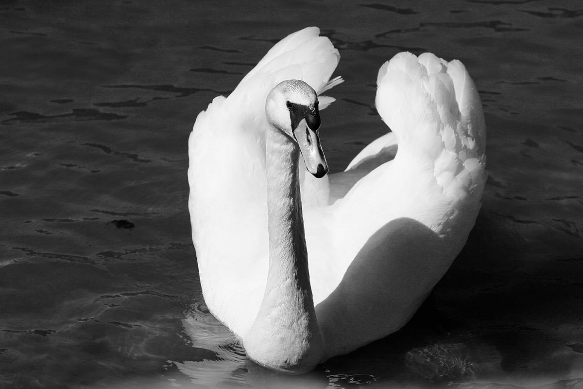 Joutsen vedessä, mustavalkoinen kuva
