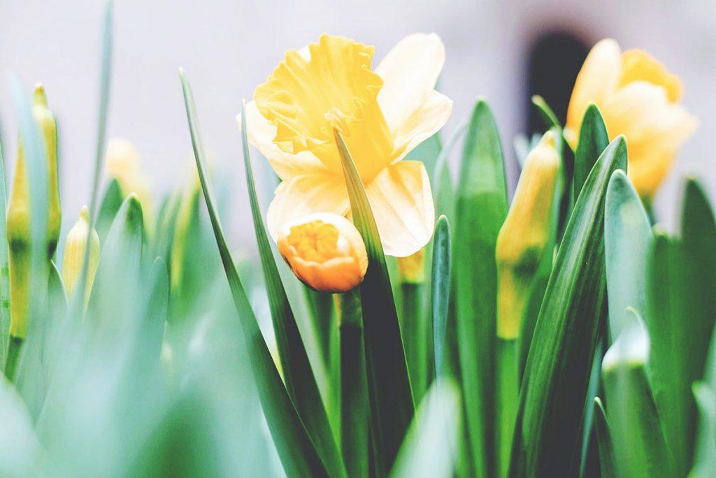 Narsisseja läheltä kuvattuna