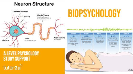Biopsychology   Psychology   tutor2u