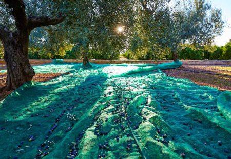 Séjour Oenogastronomique en Sicile - Recolte des olives