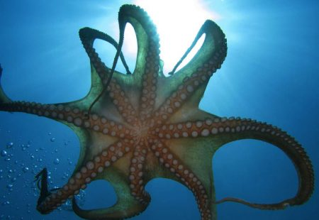 Plongée-sous-marine-Poulpe