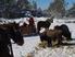 les bisons en hiver